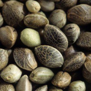 Le Chanvre de France - Cannabis Sativa L. vulgaris : culture, récolte, applications. Graines de chanvre, ou chènevis : akène d'une taille de 3 à 6mm